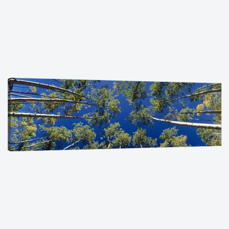 White Aspen Trees CO USA Canvas Print #PIM2377} by Panoramic Images Canvas Wall Art