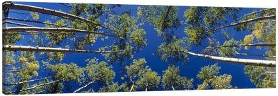 White Aspen Trees CO USA Canvas Print #PIM2377