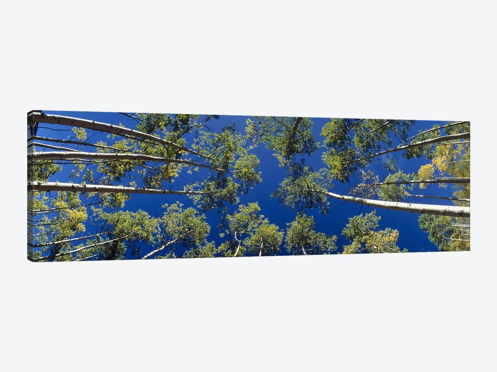 White Aspen Trees CO USA by Panoramic Images 1-piece Canvas Artwork