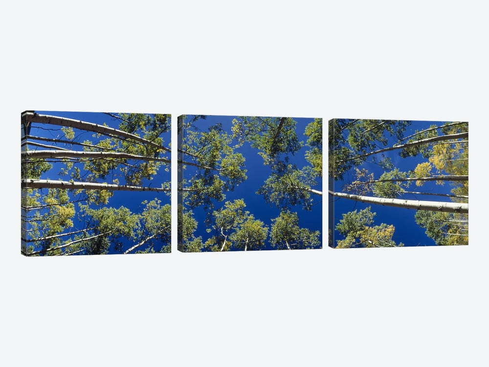 White Aspen Trees CO USA by Panoramic Images 3-piece Canvas Artwork
