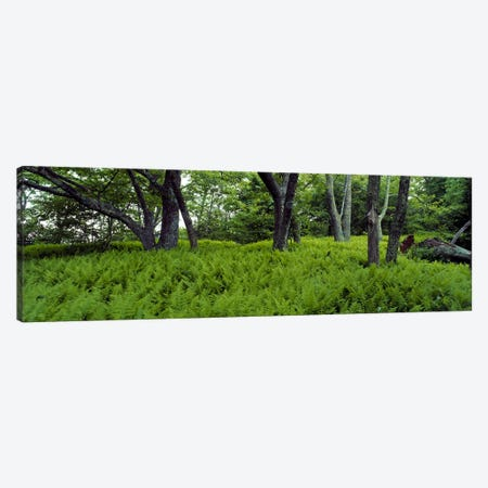 Trees in a forest, North Carolina, USA Canvas Print #PIM2378} by Panoramic Images Art Print