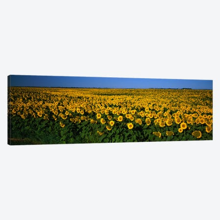 Field of Sunflowers ND USA Canvas Print #PIM2379} by Panoramic Images Canvas Print