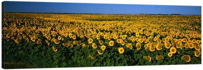 Field of Sunflowers ND USA Canvas Art Print