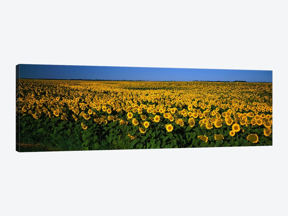 Field of Sunflowers ND USA 1-piece Canvas Artwork