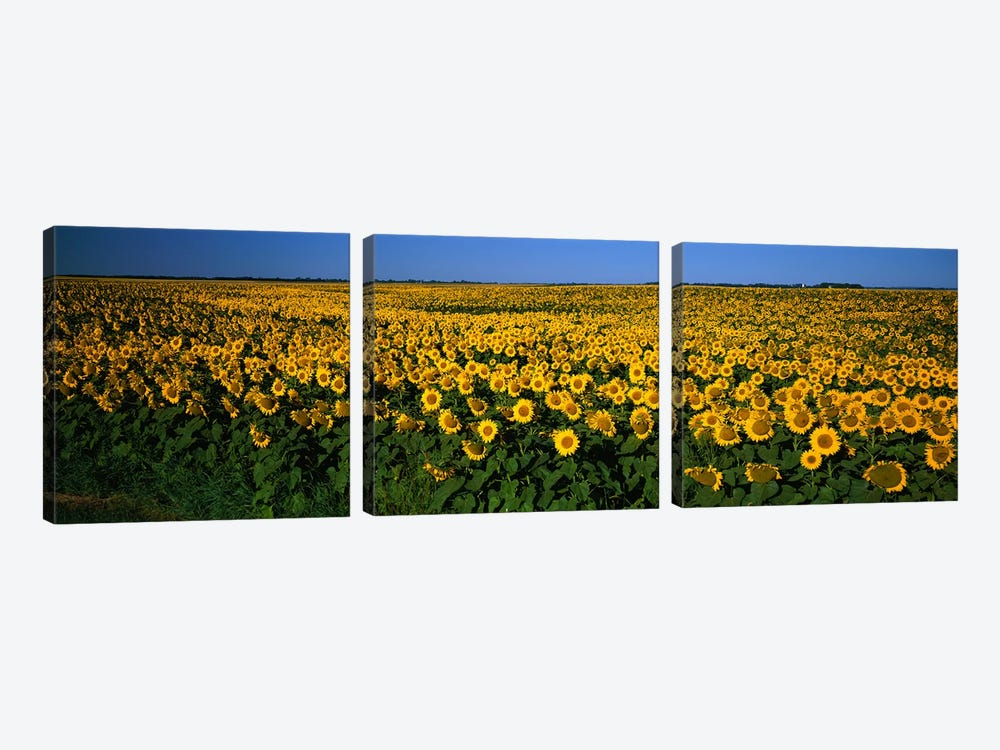 Field of Sunflowers ND USA 3-piece Canvas Wall Art
