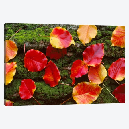 Fall Leaves Sacramento CA USA Canvas Print #PIM2392} by Panoramic Images Canvas Print