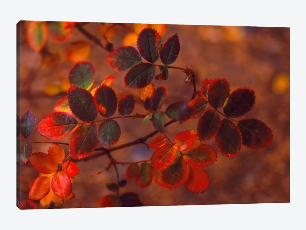 Autumn Leaves In Zoom, Colorado, USA by Panoramic Images 1-piece Canvas Art