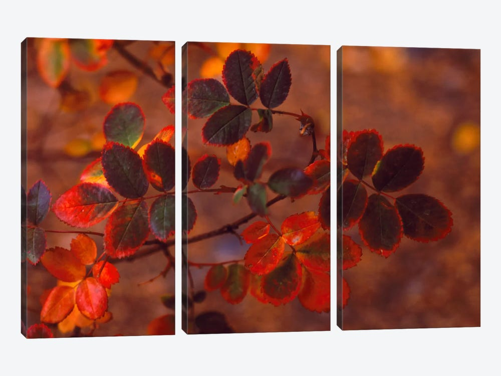 Autumn Leaves In Zoom, Colorado, USA by Panoramic Images 3-piece Canvas Artwork