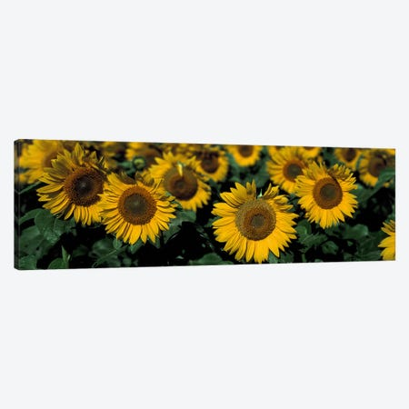 Sunflowers ND USA Canvas Print #PIM2394} by Panoramic Images Canvas Wall Art