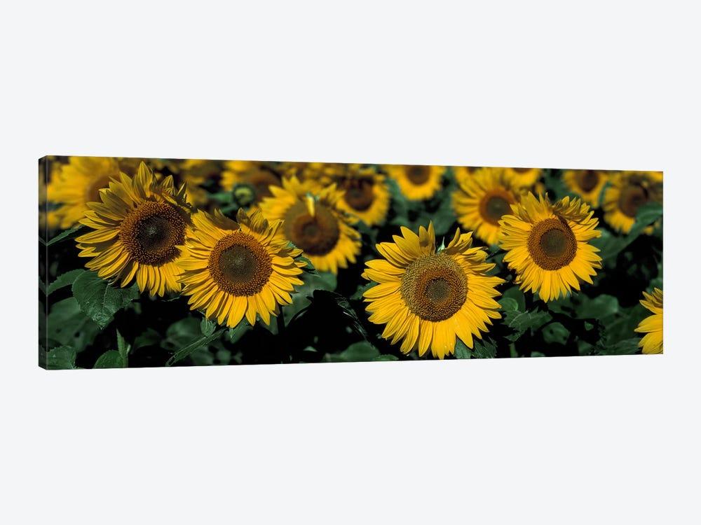 Sunflowers ND USA by Panoramic Images 1-piece Canvas Print