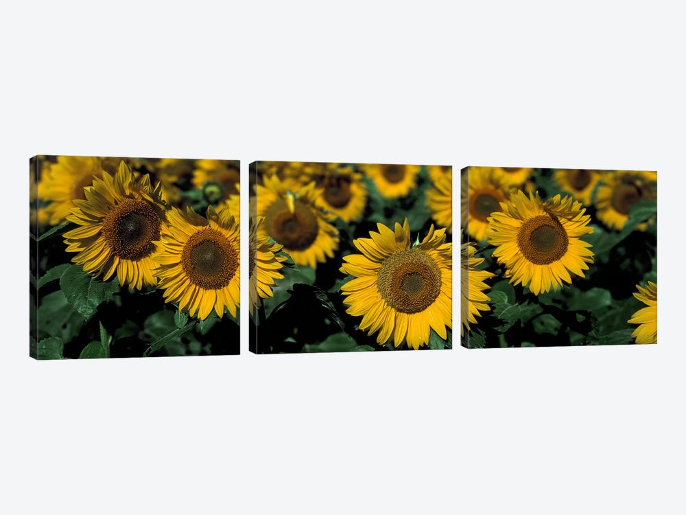 Sunflowers ND USA by Panoramic Images 3-piece Canvas Art Print