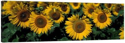 Sunflowers ND USA Canvas Art Print