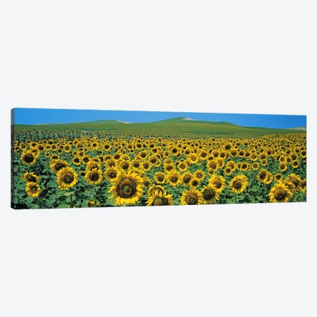 Sunflower field Andalucia Spain Canvas Print #PIM2430} by Panoramic Images Canvas Wall Art