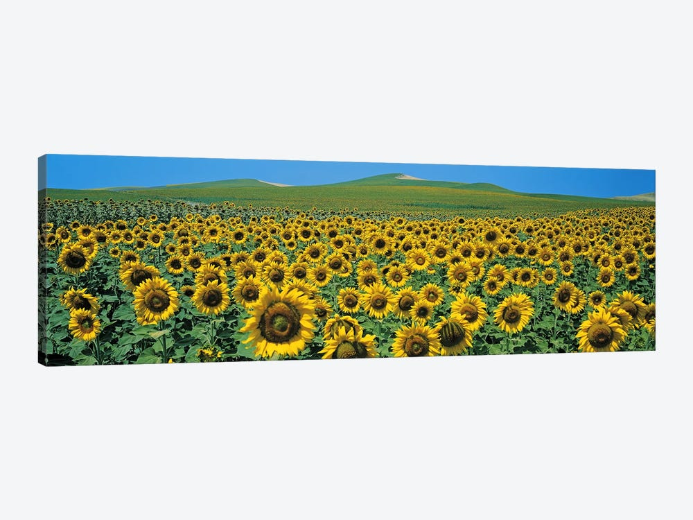Sunflower field Andalucia Spain by Panoramic Images 1-piece Canvas Wall Art