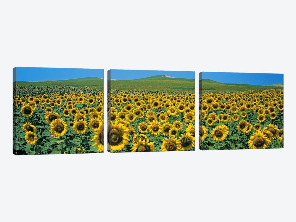 Sunflower field Andalucia Spain by Panoramic Images 3-piece Canvas Wall Art