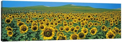 Sunflower field Andalucia Spain Canvas Art Print