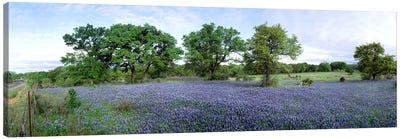 Field Of Bluebonnets, Hill County, Texas, USA Canvas Print #PIM2495