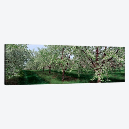 View of spring blossoms on cherry trees Canvas Print #PIM2560} by Panoramic Images Canvas Art