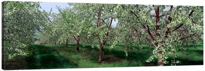 View of spring blossoms on cherry trees Canvas Print #PIM2560
