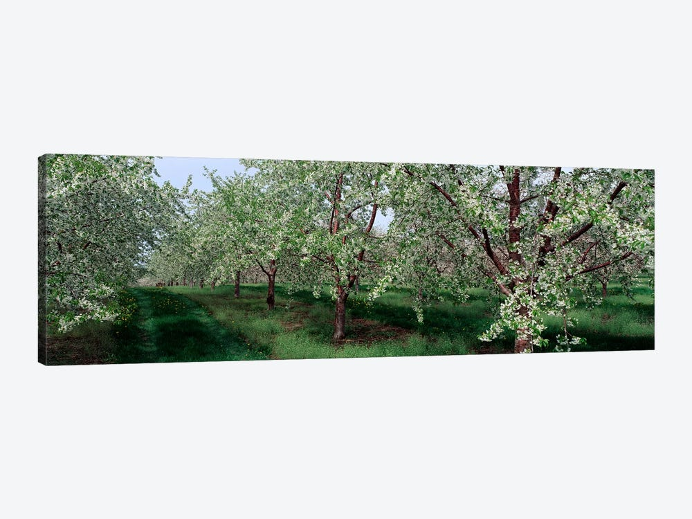View of spring blossoms on cherry trees by Panoramic Images 1-piece Canvas Artwork