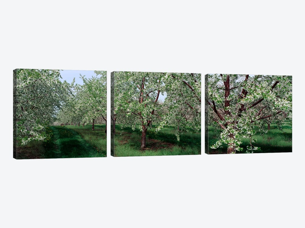 View of spring blossoms on cherry trees by Panoramic Images 3-piece Canvas Artwork