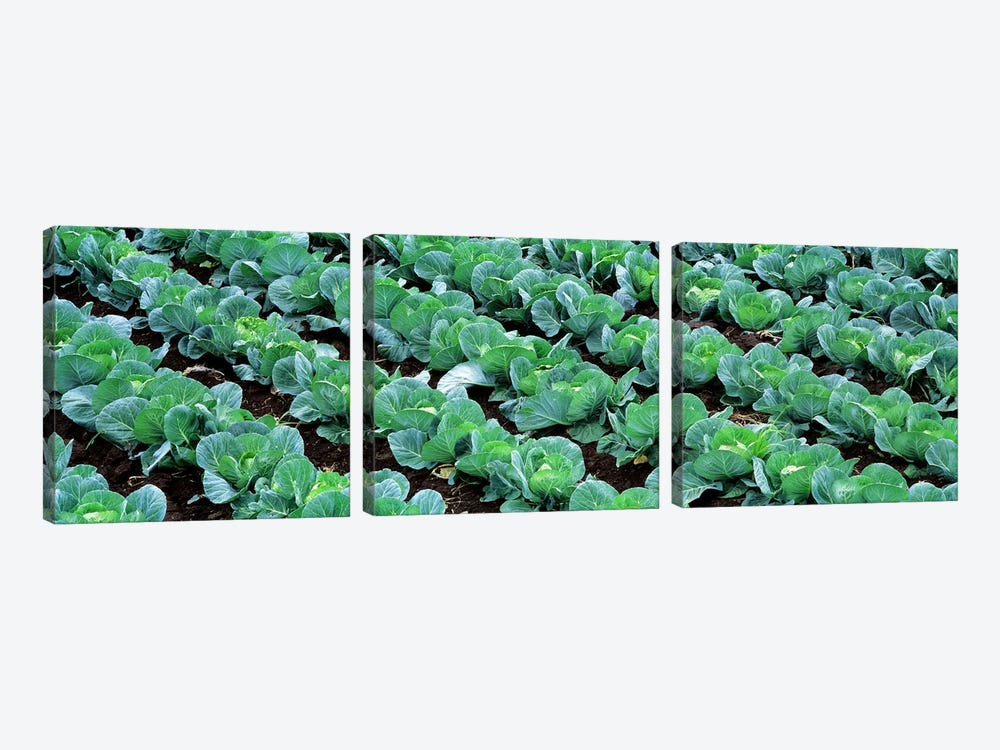 Cabbage Crop, Yamhill County, Oregon, USA 3-piece Art Print