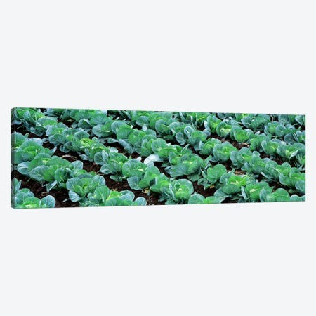 Cabbage Crop, Yamhill County, Oregon, USA Canvas Print #PIM2567} by Panoramic Images Canvas Art Print