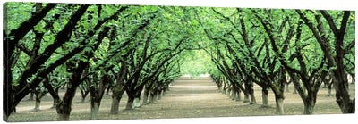 Hazel Nut Orchard, Dayton, Oregon, USA Canvas Art Print