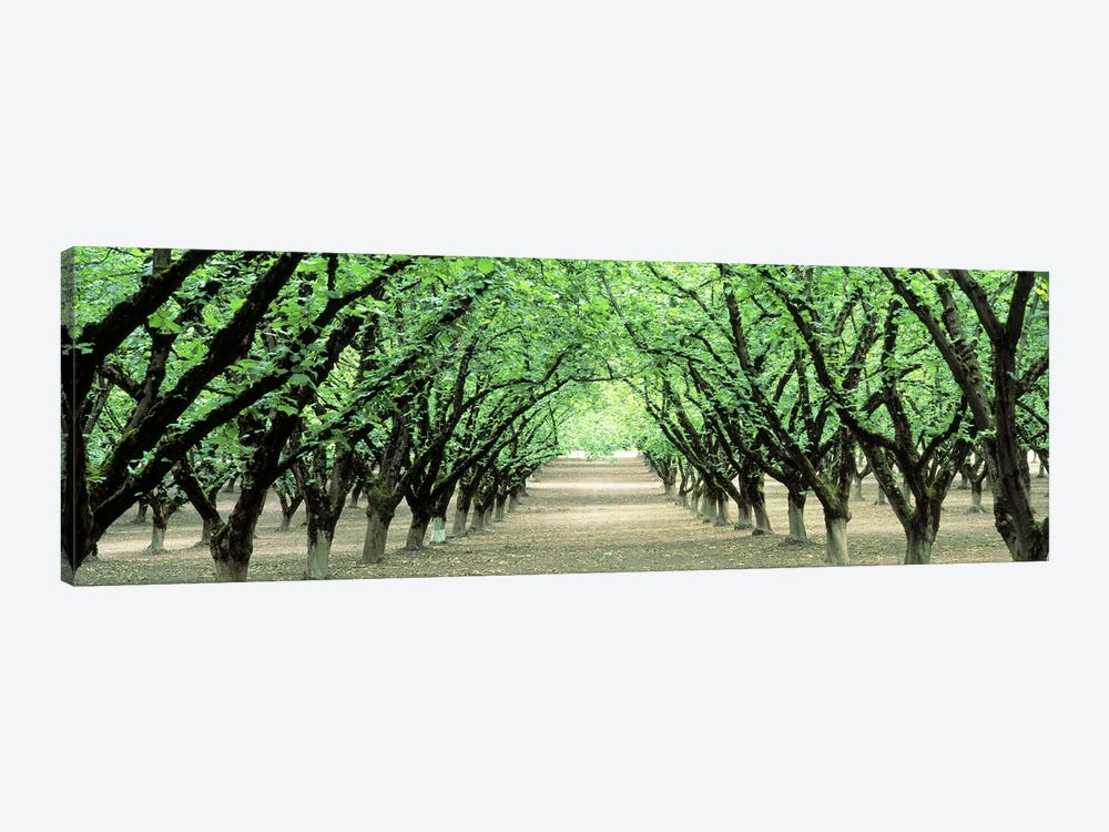 Hazel Nut Orchard, Dayton, Oregon, USA by Panoramic Images 1-piece Canvas Art