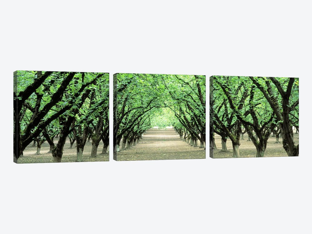 Hazel Nut Orchard, Dayton, Oregon, USA by Panoramic Images 3-piece Canvas Wall Art