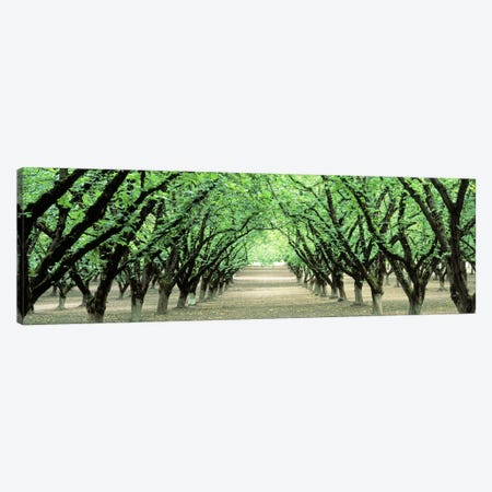 Hazel Nut Orchard, Dayton, Oregon, USA Canvas Print #PIM2568} by Panoramic Images Canvas Wall Art