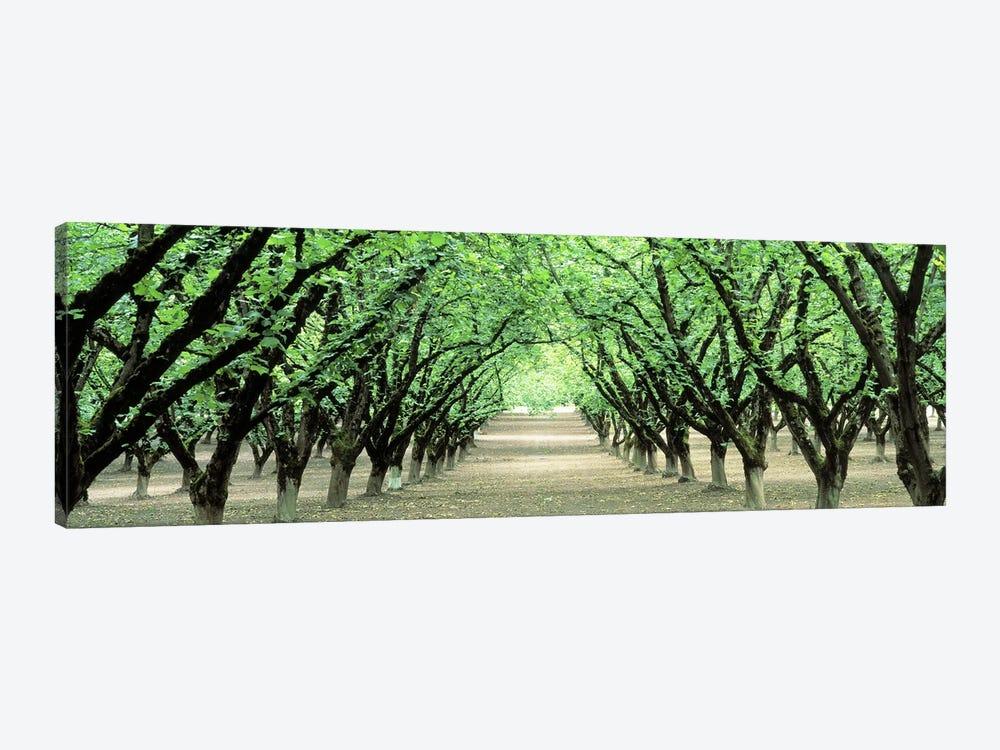 Hazel Nut Orchard, Dayton, Oregon, USA by Panoramic Images 1-piece Canvas Art