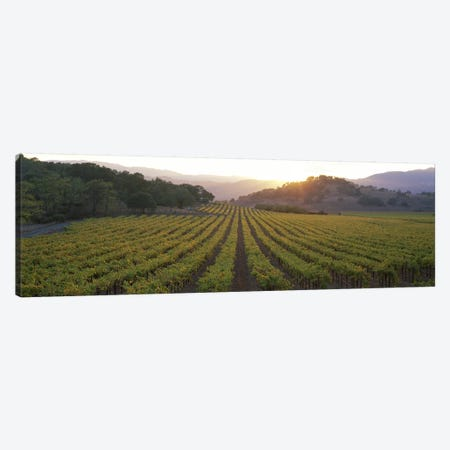 Vineyard Sunset, Napa Valley, California, USA Canvas Print #PIM2603} by Panoramic Images Canvas Print