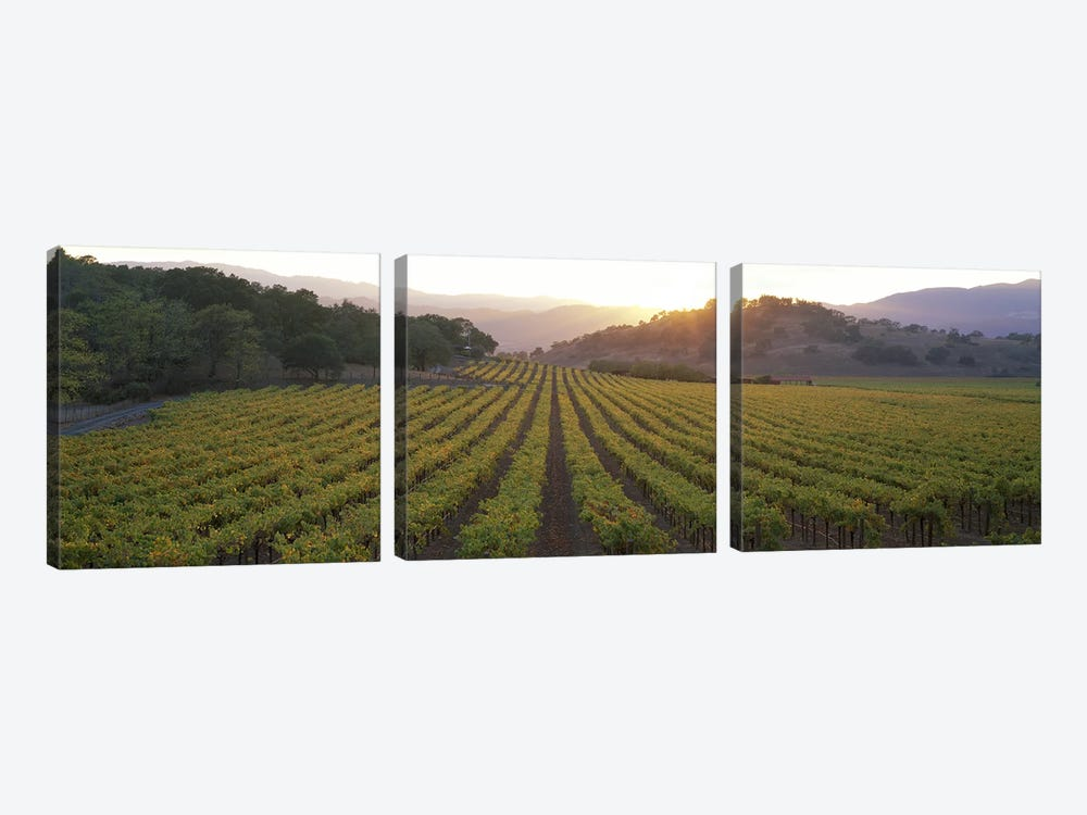 Vineyard Sunset, Napa Valley, California, USA by Panoramic Images 3-piece Canvas Print