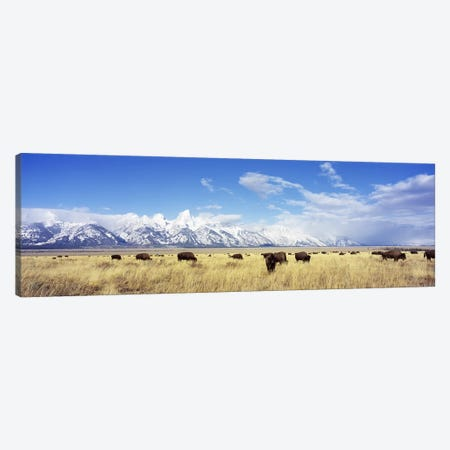 Bison Herd, Grand Teton National Park, Wyoming, USA Canvas Print #PIM2615} by Panoramic Images Canvas Art Print