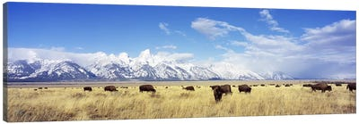 Bison Herd, Grand Teton National Park, Wyoming, USA Canvas Art Print