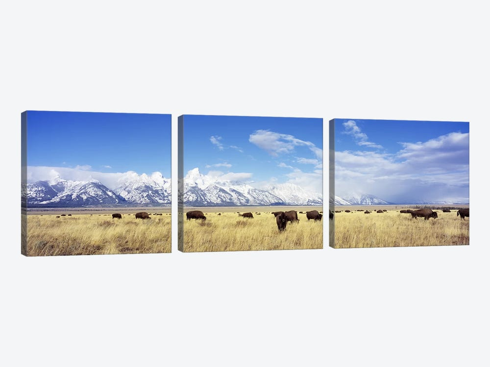 Bison Herd, Grand Teton National Park, Wyoming, USA by Panoramic Images 3-piece Canvas Art