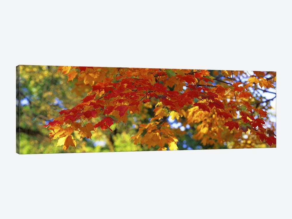 Fall Foliage, Guilford, Baltimore City, Maryland, USA by Panoramic Images 1-piece Canvas Art