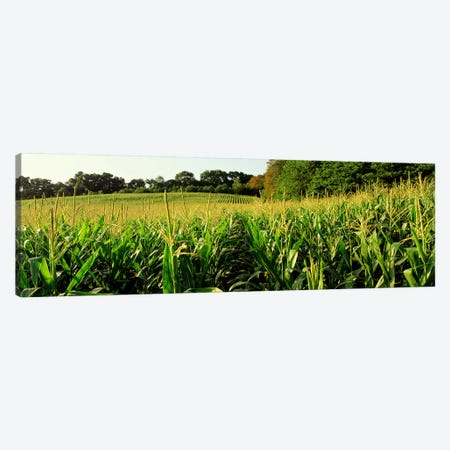 Cornfield, Baltimore County, Maryland, USA Canvas Print #PIM2682} by Panoramic Images Art Print