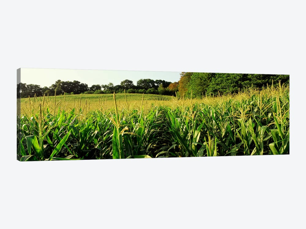 Cornfield, Baltimore County, Maryland, USA by Panoramic Images 1-piece Canvas Art
