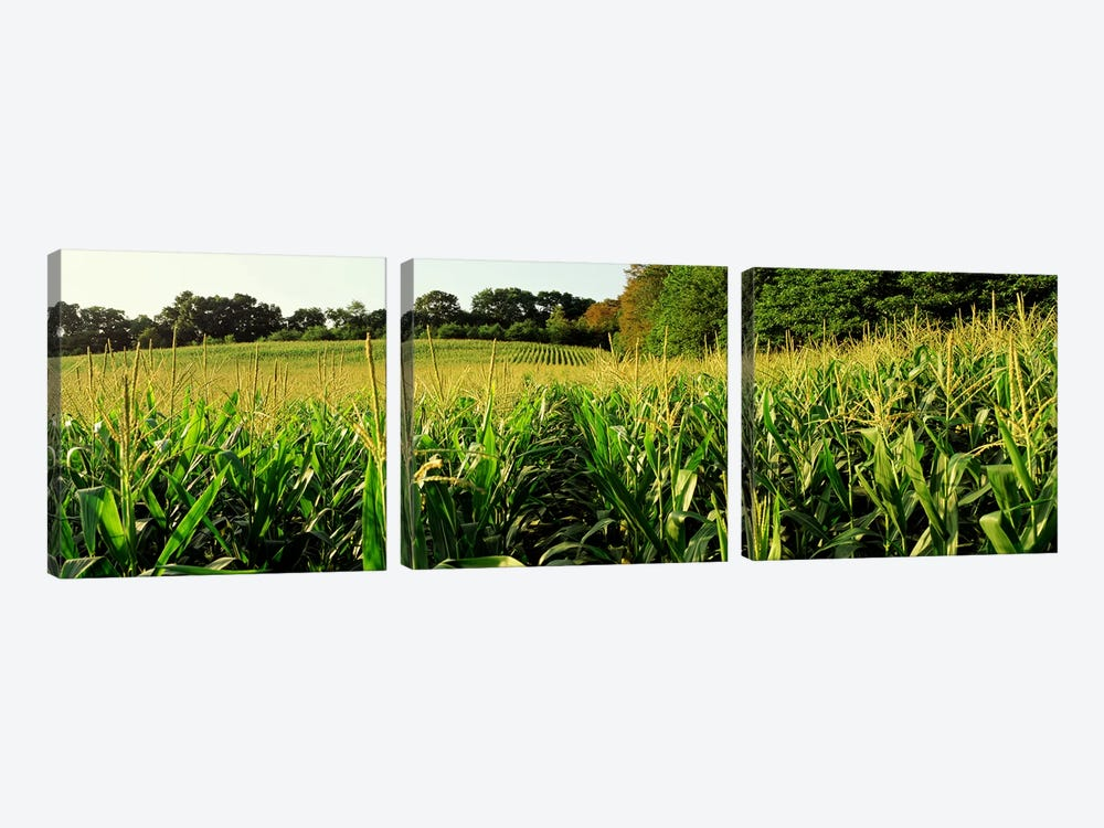 Cornfield, Baltimore County, Maryland, USA by Panoramic Images 3-piece Canvas Wall Art