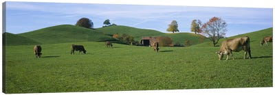 Cows grazing on a field, Canton Of Zug, Switzerland Canvas Print #PIM2684
