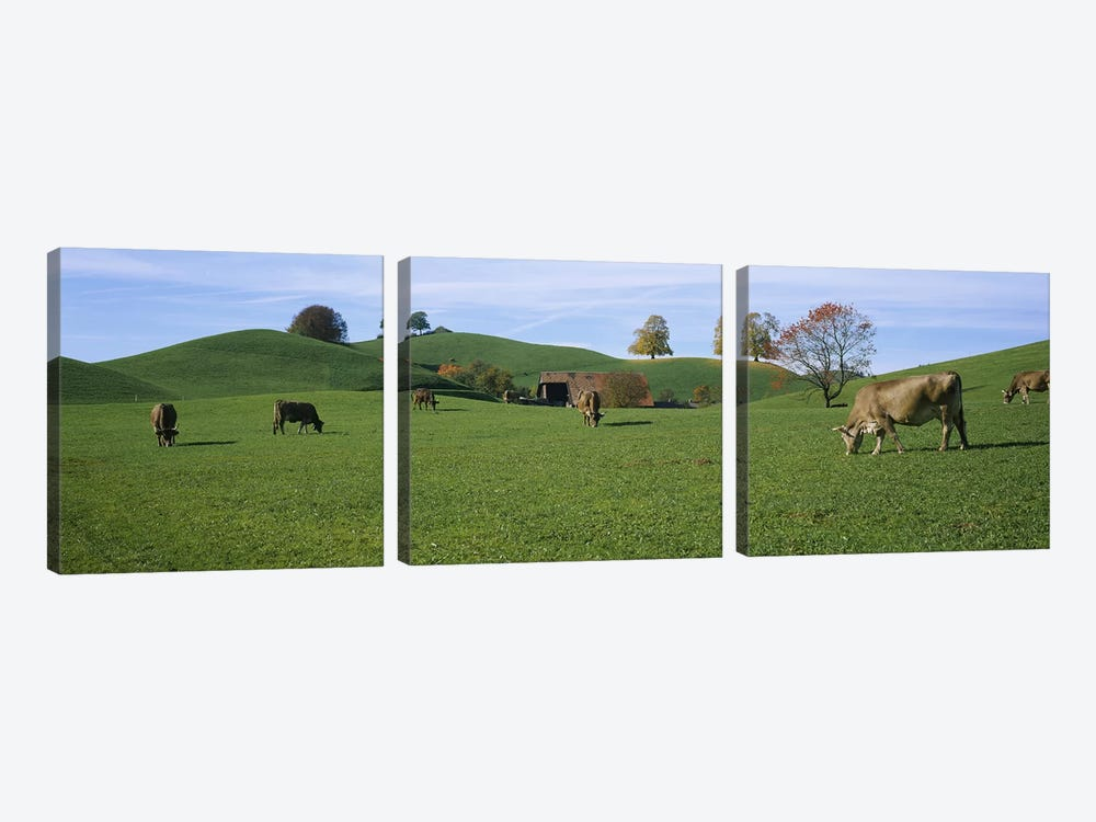 Cows grazing on a field, Canton Of Zug, Switzerland by Panoramic Images 3-piece Canvas Artwork