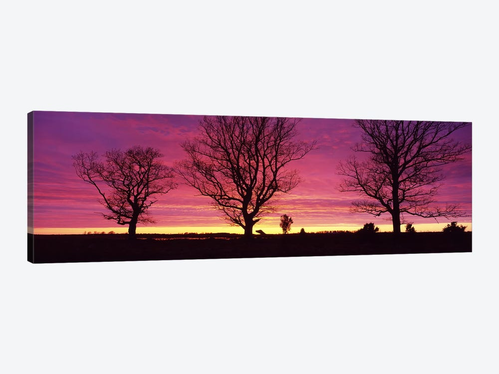 Oak Trees, Sunset, Sweden by Panoramic Images 1-piece Canvas Print