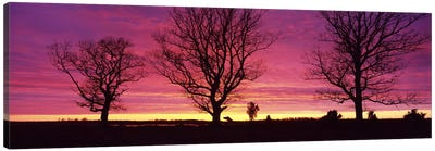Oak Trees, Sunset, Sweden Canvas Art Print