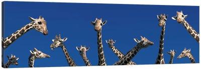 Curious Giraffes (concept) Kenya Africa Canvas Print #PIM2727