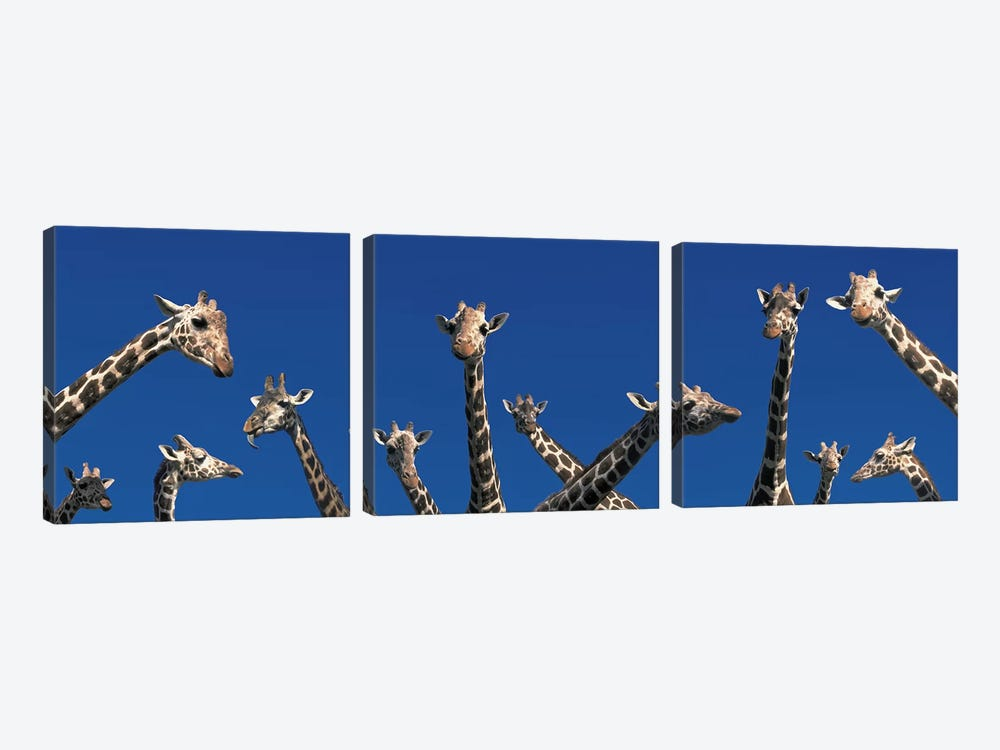 Curious Giraffes (concept) Kenya Africa by Panoramic Images 3-piece Canvas Wall Art