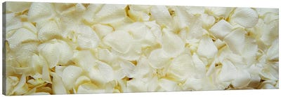 White Rose Petals Canvas Print #PIM2824