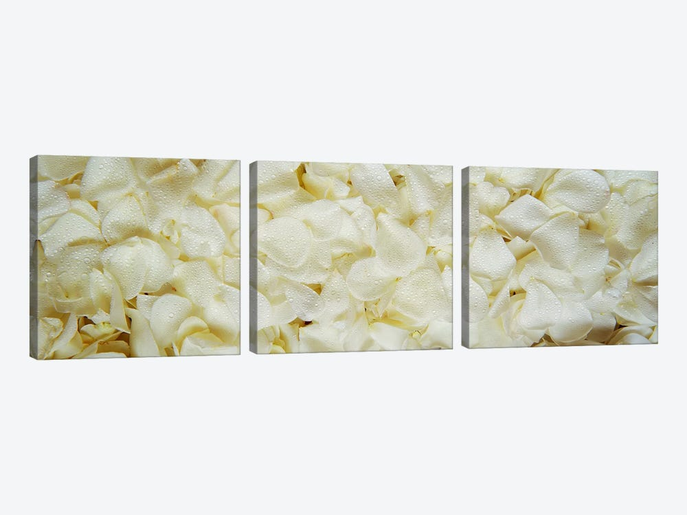White Rose Petals by Panoramic Images 3-piece Canvas Art Print