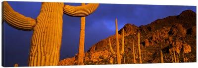 Saguaro CactusTucson, Arizona, USA Canvas Art Print
